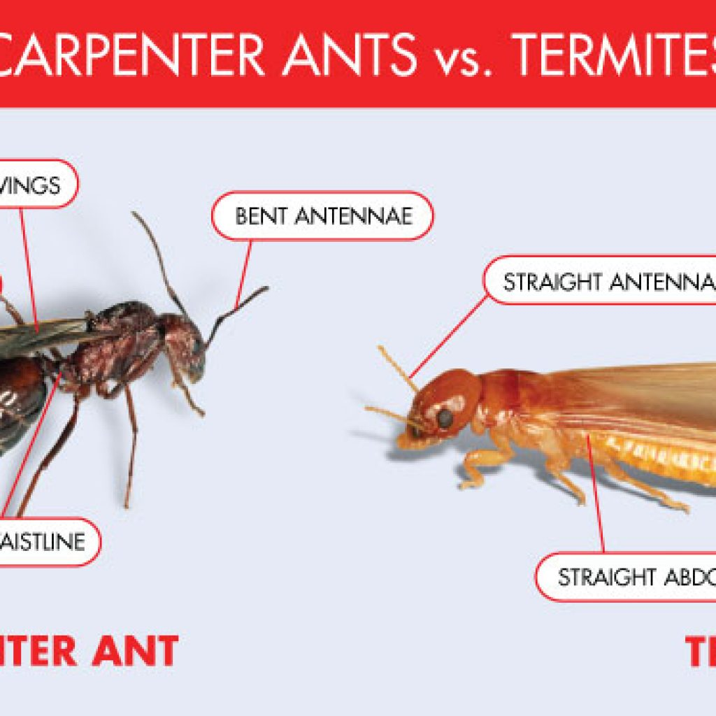 Carpenter Ant Vs Termite Ed Lavery Sons Pest Control Llc