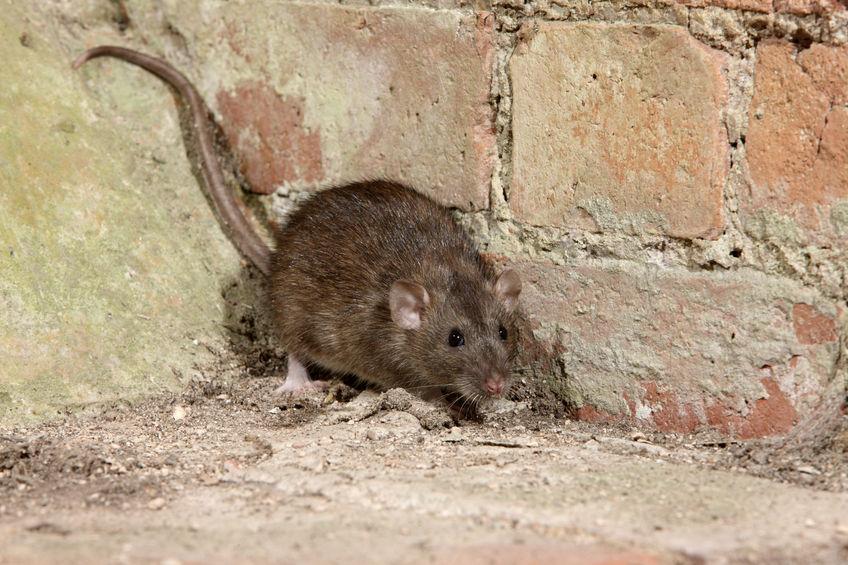 Rat Removal Connecticut