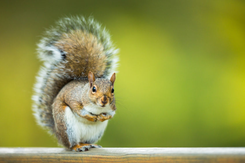 Squirrel Removal CT