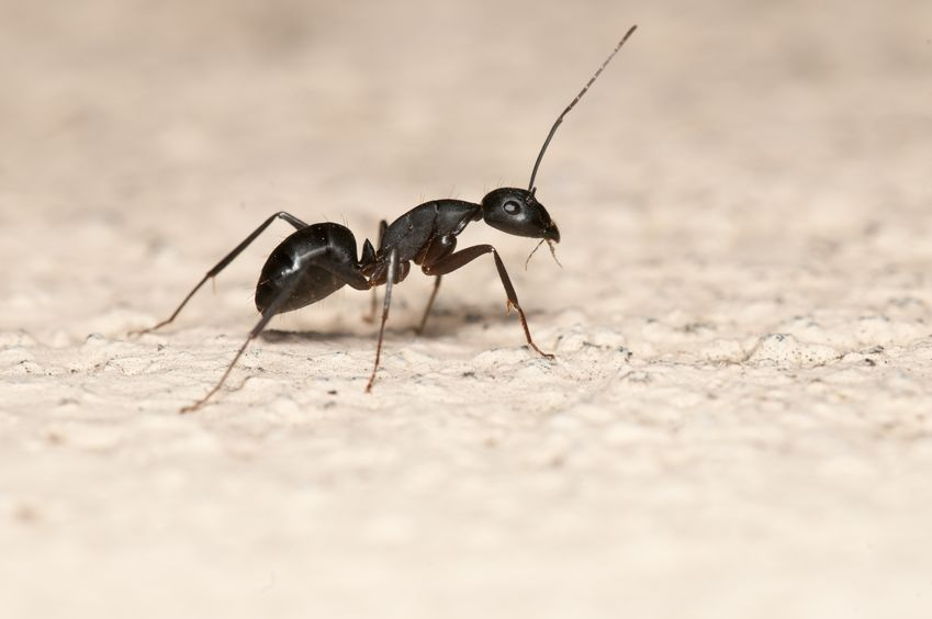 Carpenter Ant Control and Extermination in Connecticut