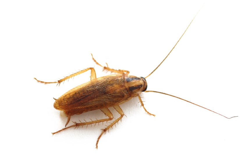 German Cockroach Removal in Connecticut