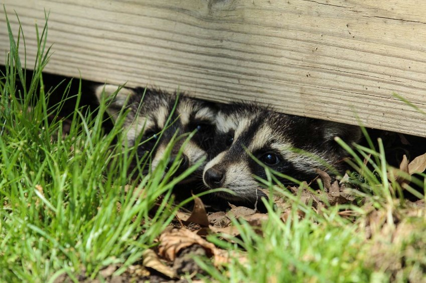 Raccoon Removal Exterminator Connecticut