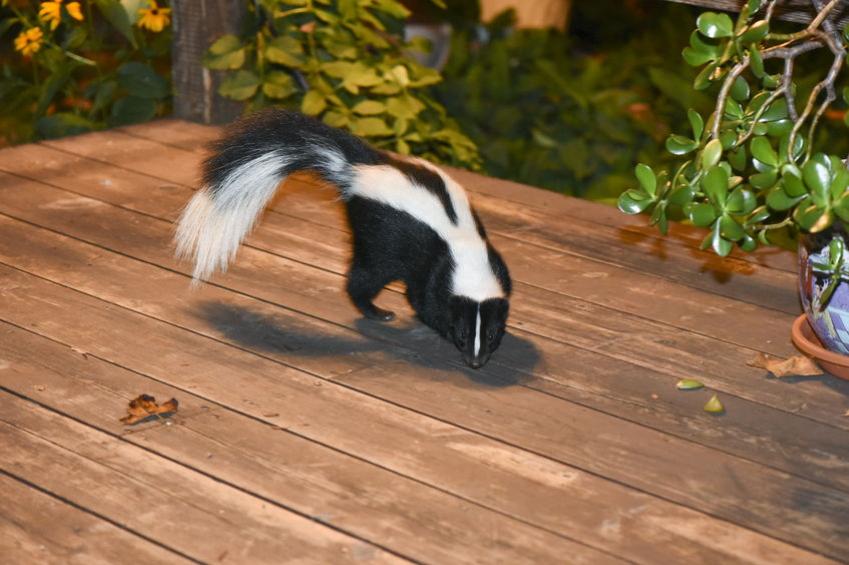 Skunk Removal CT